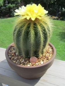 Bill's succulents 011