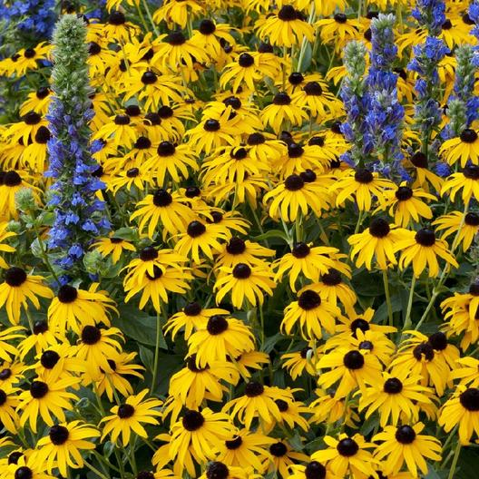 Black-Eyed-Susan-1_medium